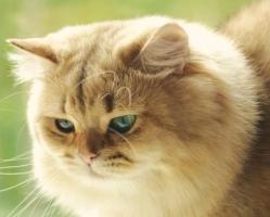 Tiffany Cat*s Berry